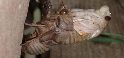 Cicada-Emerging