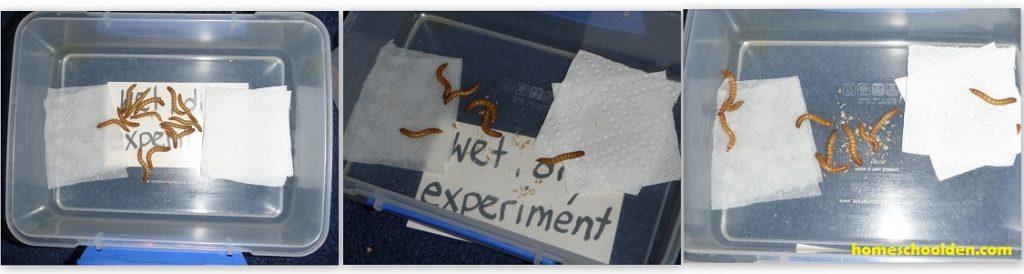 Mealworm-Activity-Wet-Dry