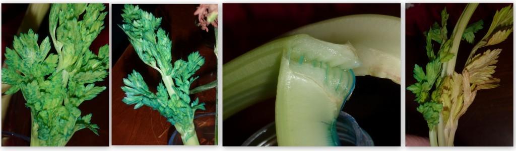 Celery - Capillary action