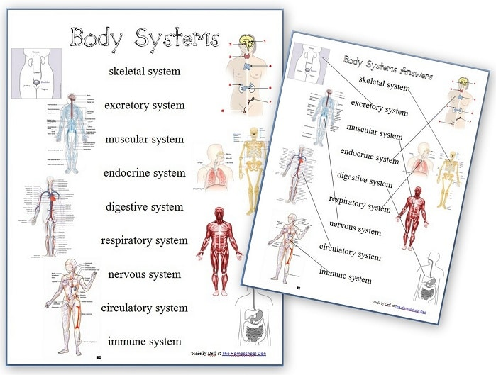 Body Systems Worksheet