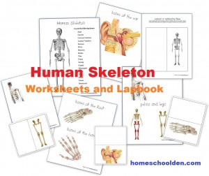 Skeletal System Worksheets and Lapbook