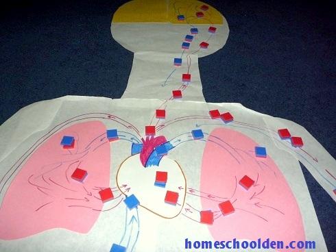 Circulatory-System-HandsOnActivity-HumanBodyUnit-HomeschoolDen