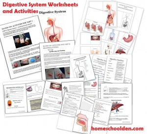 Digestive System Worksheets and Lapbook