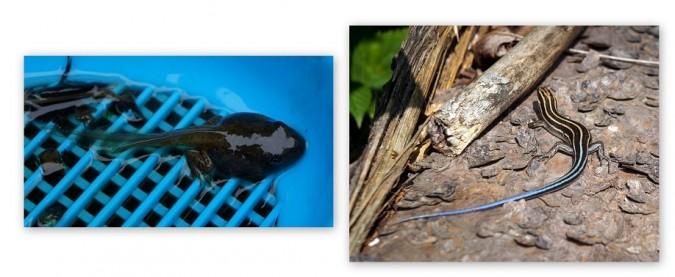 Froglet-Skink-675x277