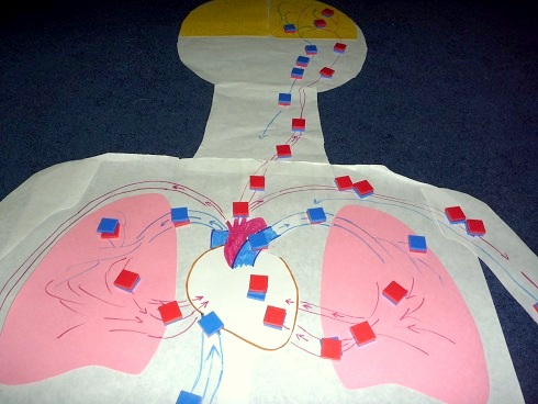 Circulatory System Activity