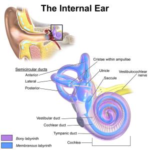 InnerEar-Wikipedia