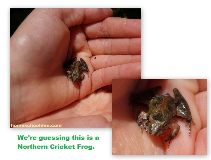 Nothern-Cricket-Frog