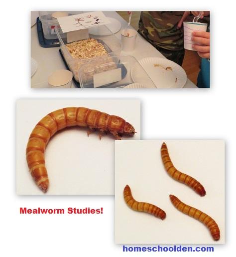 Mealworm Activities