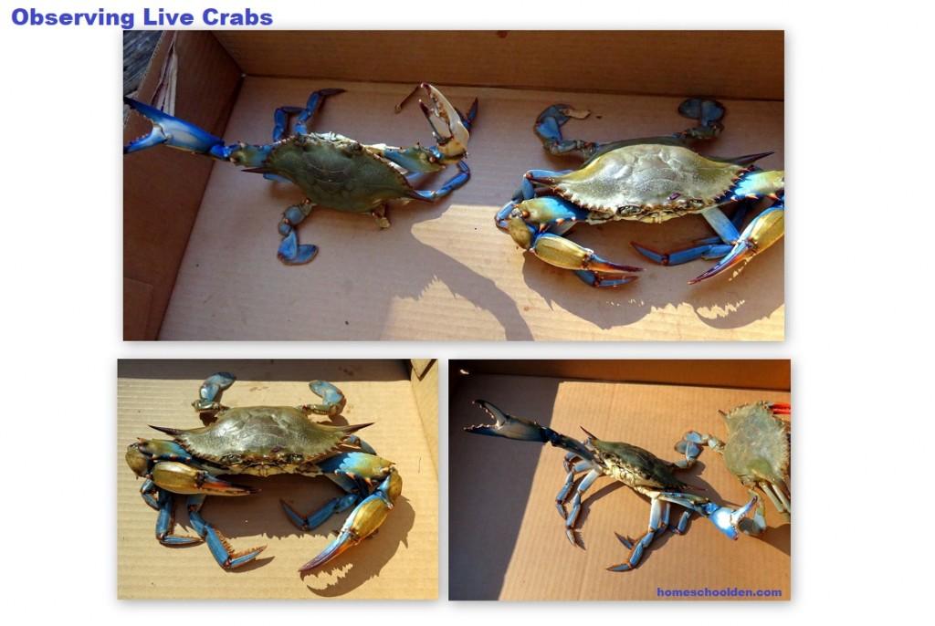 Observing Crabs