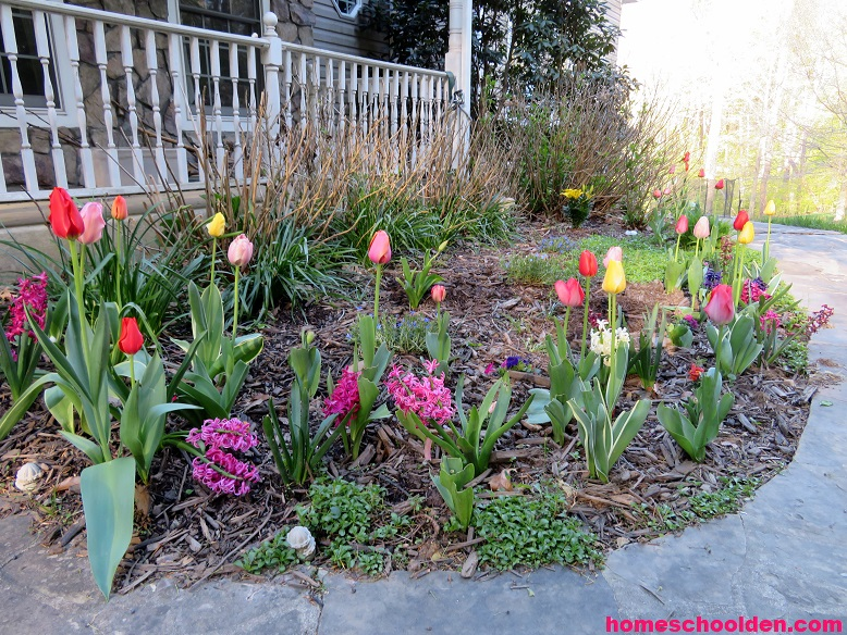 Tulip Hyacinth - Garden