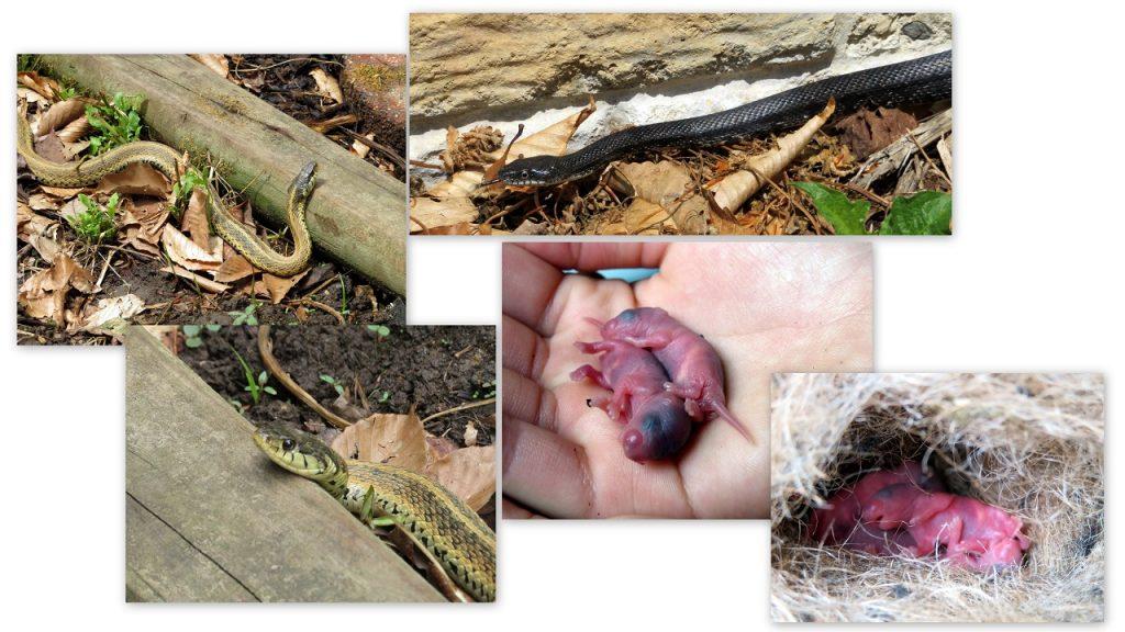 Snakes Mice