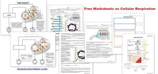 Free Worksheets on Cellular Respiration