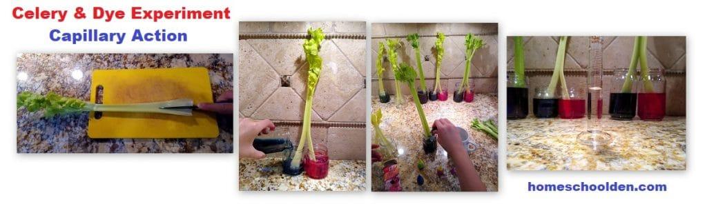 Celery-Dye Capillary Action Experiment