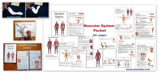 Muscular System Unit Worksheets and Hands-On Activities