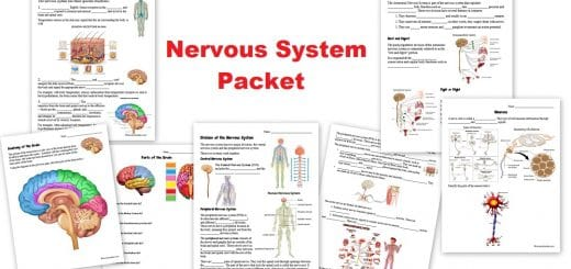 Nervous System Worksheet Packet
