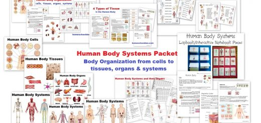 Human Body Systems Worksheets and Activities