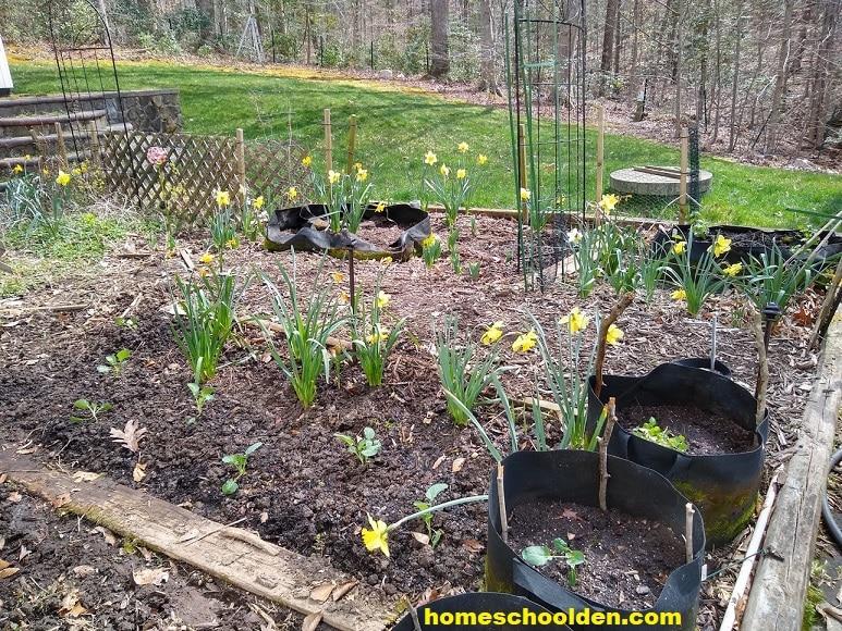 Garden Work - daffodils