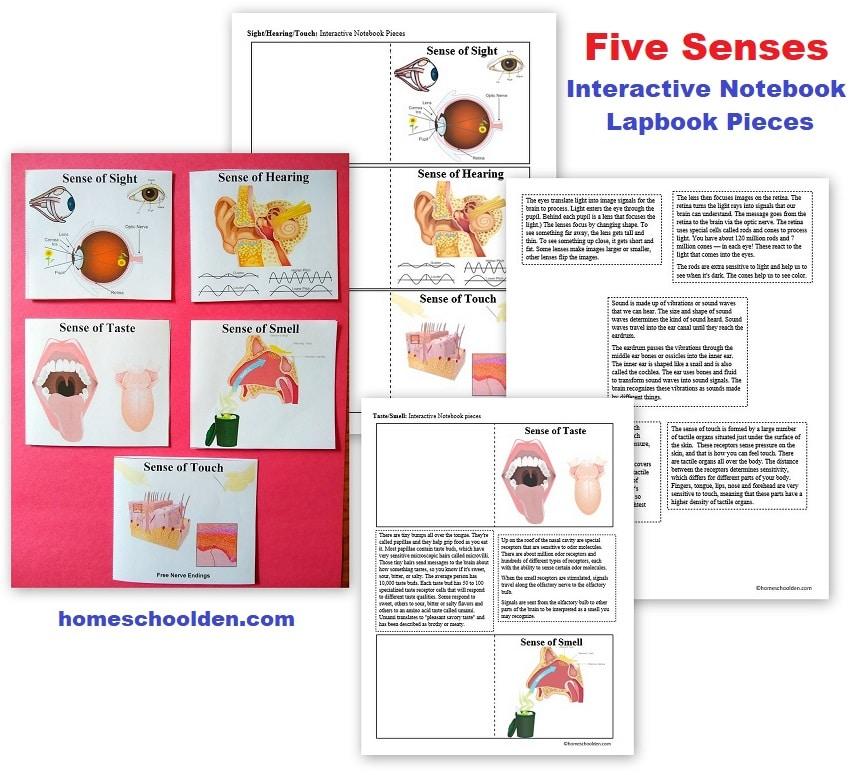 Five Senses - Interactive Notebook - Lapbook