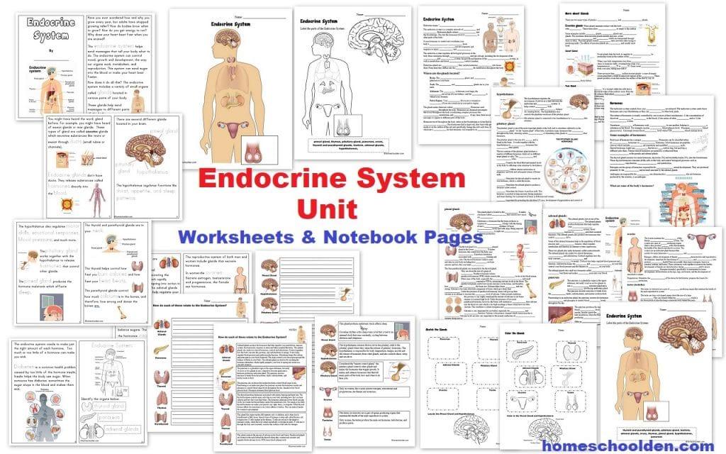 Endocrine System Unit Homeschool Den